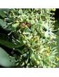 Cesmína ostrolistá / Holly (15), 10 ml - Bachovy květové bio esence