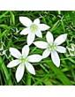 Snědek chocholikatý / Star of Bethlehem (29), 10 ml - Bachovy květové bio esence